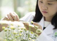 WHQ News - genom chryzantémy je zmapován